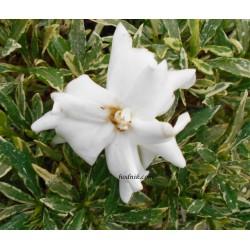Gardenia radicans variegataGardenia Jasminoides Radicans Variegata