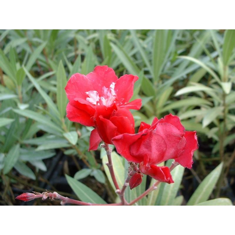 nerium oleander commandant barthelemy laurier rose. Black Bedroom Furniture Sets. Home Design Ideas