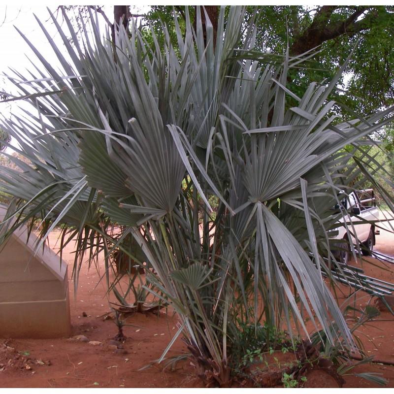 palmier sabal