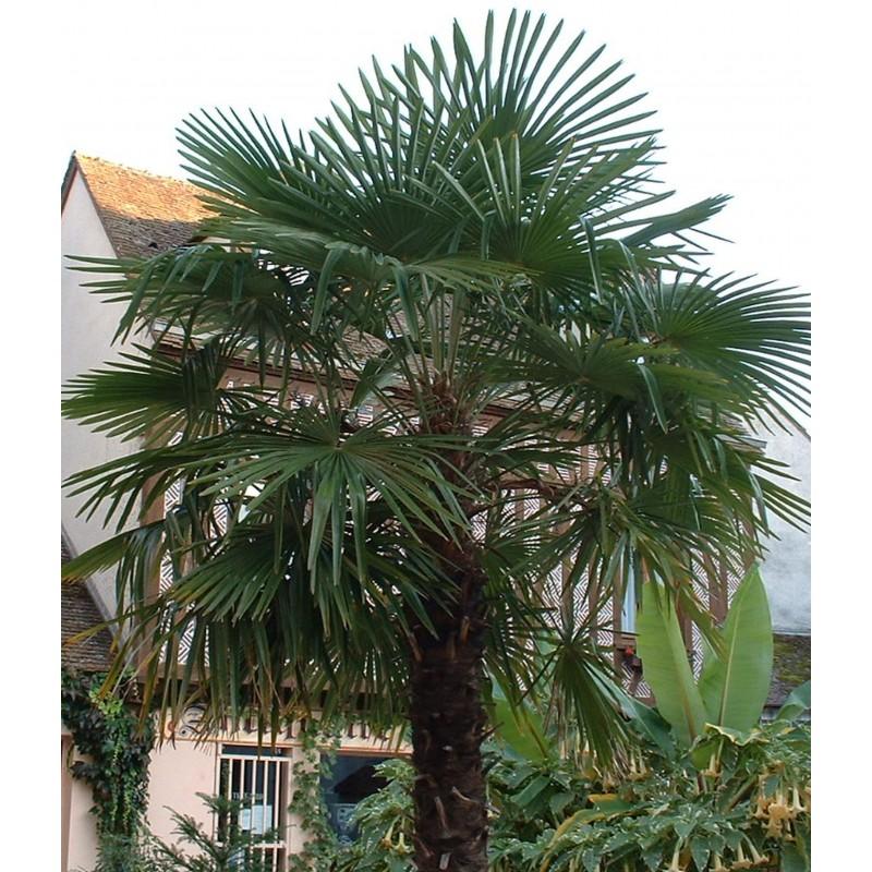 palmier trachycarpus